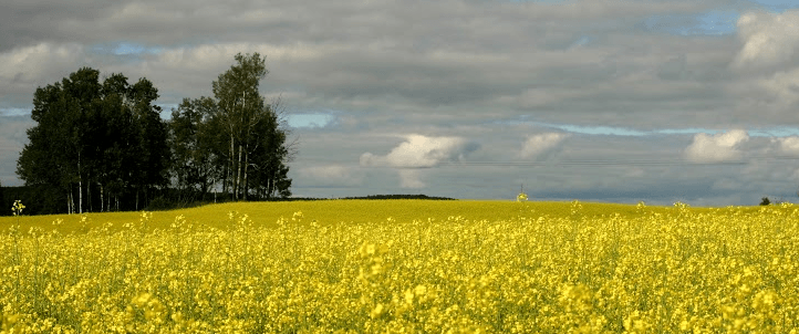 Brule Creek's Can-Do Canola: Farm Now Offers Locally Sourced Cooking Oil
