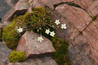 Knotted Pearlwort, photo by Bruce Thacker