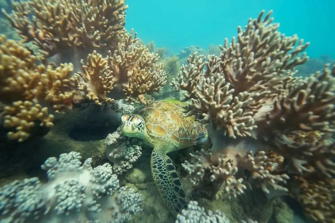 Snorkelling with turtles on the Great Barrier Reef near Cairns, Australia