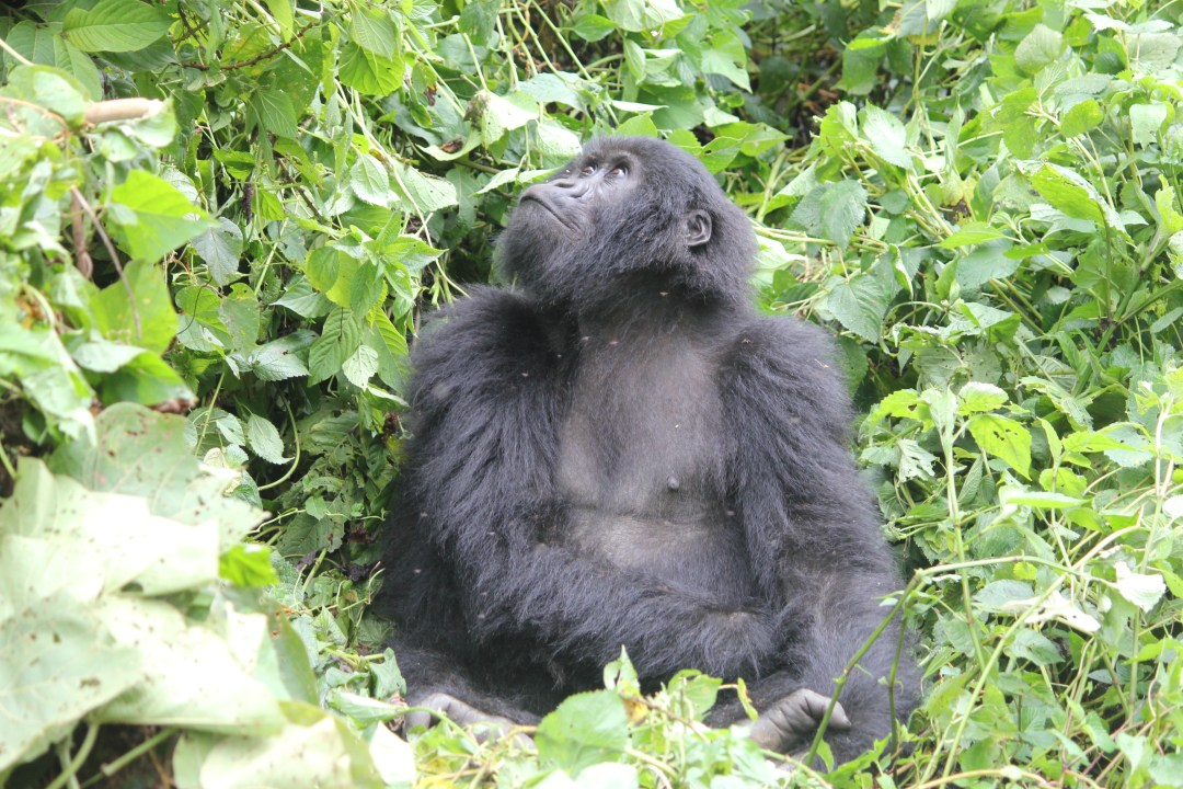 Gorilla Trekking in Africa - The Wanderlust Effect