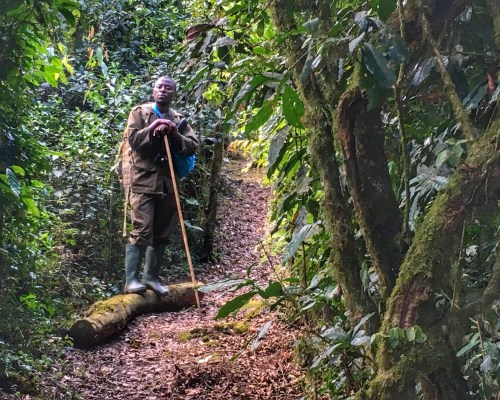 Chimp Trekking in Rwanda - The Wanderlust Effect