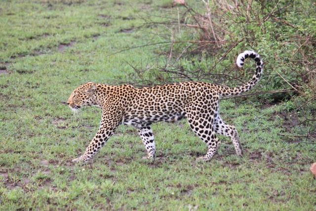 Leopard on Safari in Uganda, Queen Elizabeth National Park