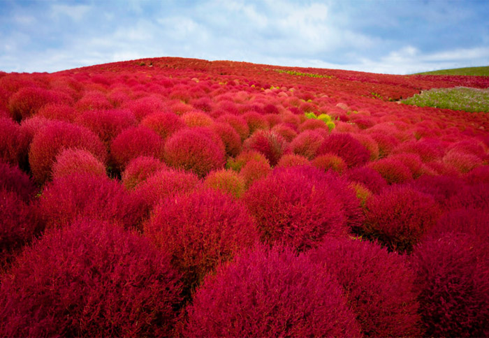 Hitachi Seaside Park, Japan. 16 Colourful Places In The World For Your Bridal Portraits. www.theweddingnotebook.com