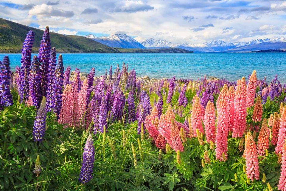 Lupins Lake Tekapo New Zealand