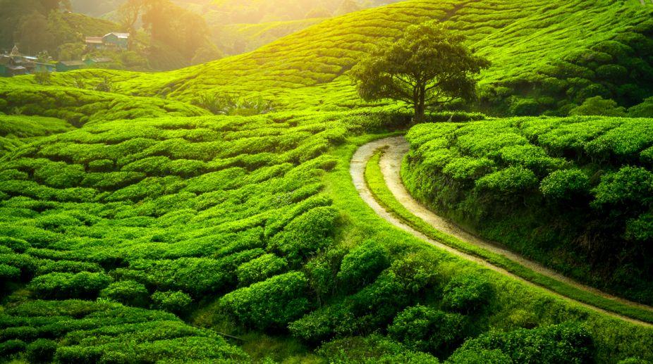 Darjeeling tea plantations