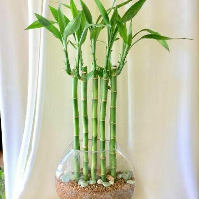 Lukcy Bamboo Plants