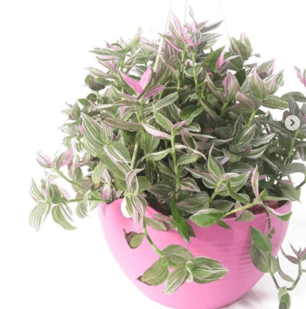 fresh spaces mnl pink wandering jew hanging plant philippines