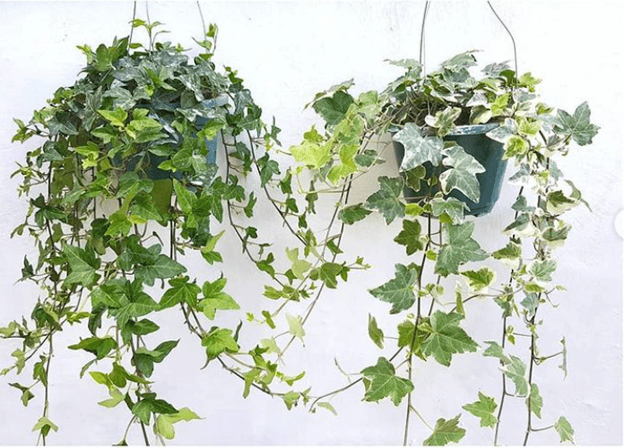 plantshopper ivy hanging plant philippines