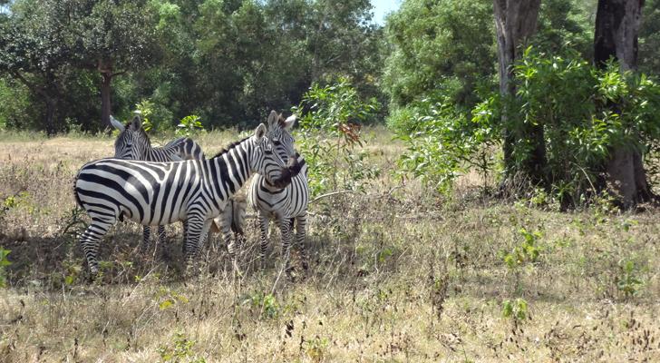 Calauit - zebra