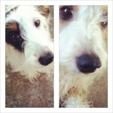 Bauer & Dewey -- my 2 wirehair dachshunds