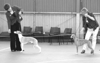 The Whippet Club Championship Show Results – Saturday 6th April 2013
