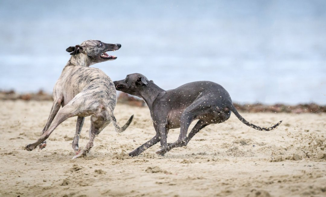 Whippet Health - Whippets on the beach