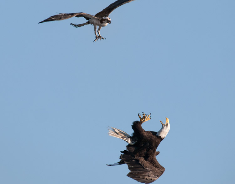 Super Osprey - ©ingridtaylar