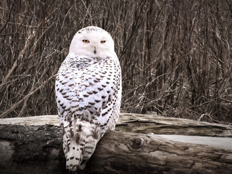 Snowy Owl at Boundary Bay British Columbia