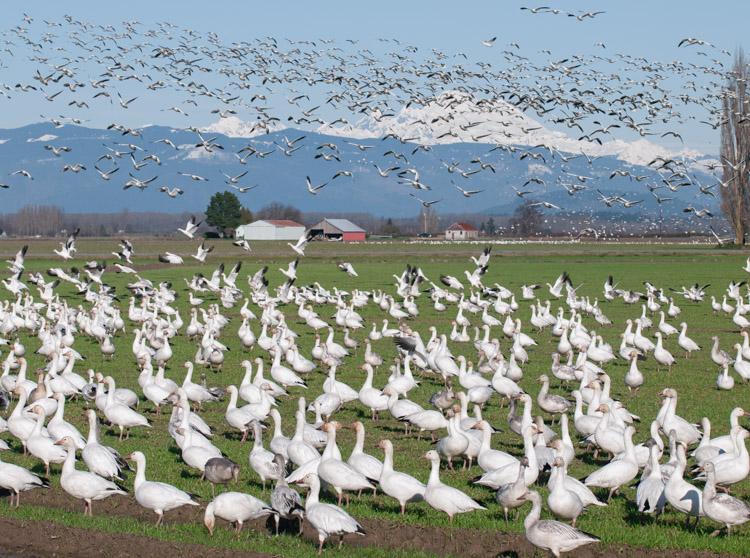 Snow Geese Flying against Mt. Baker Washington