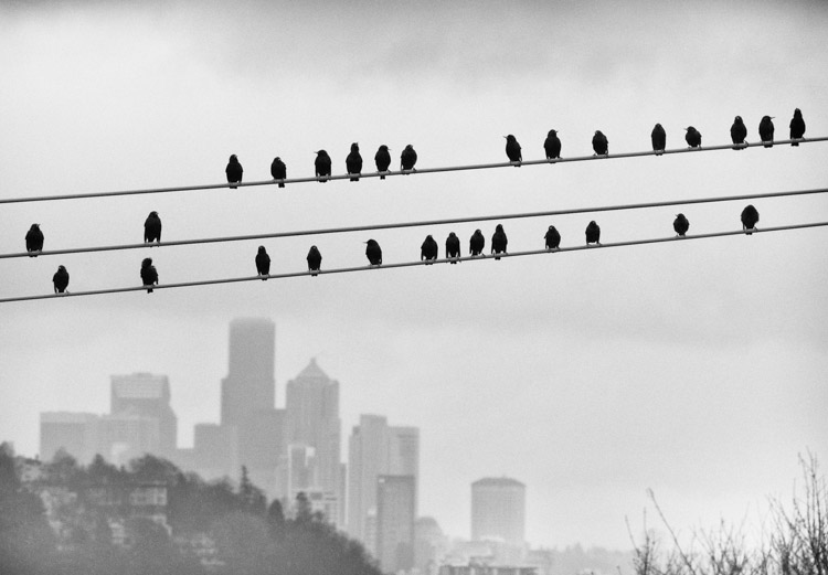Starlings on a wire in Seattle