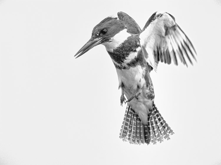 Belted Kingfisher in Black and White