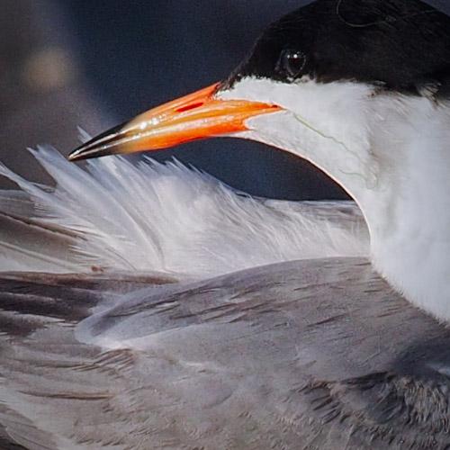 Forster's Tern preening in Southern California