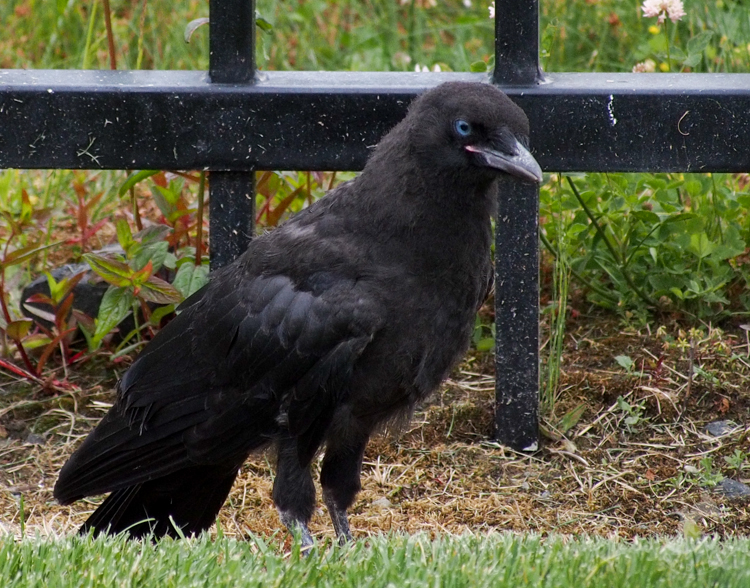 Fledgling crow with blue eyes and pink gape