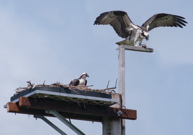 Duwamish Osprey pair on Seattle nesting platform