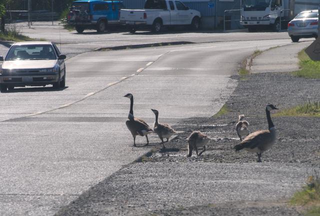 Goose Crossing - ©ingridtaylar