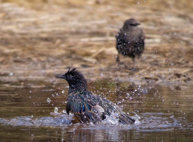 Starling Bath - ©ingridtaylar