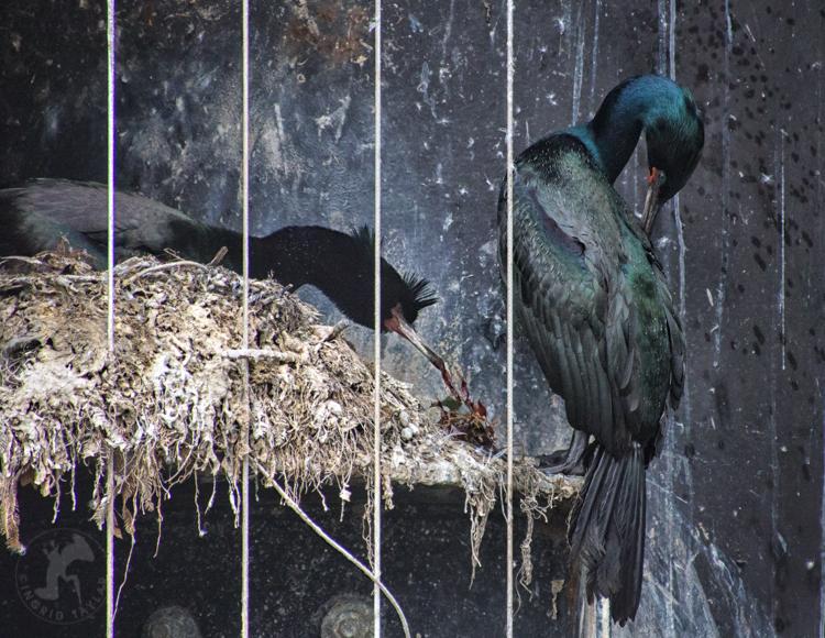 Pelagic Cormorant Building Nest in Anacortes