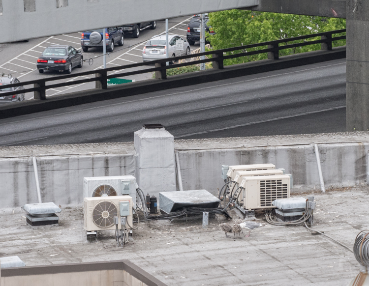 Gull nests on Seattle rooftop