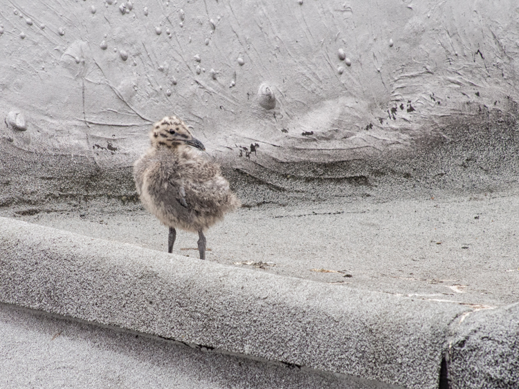 Glaucous-winged gull chick on pioneer square rooftop