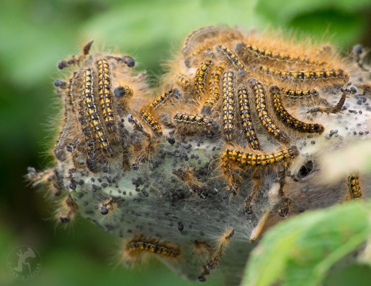 Tent Caterpillars - ©ingridtaylar