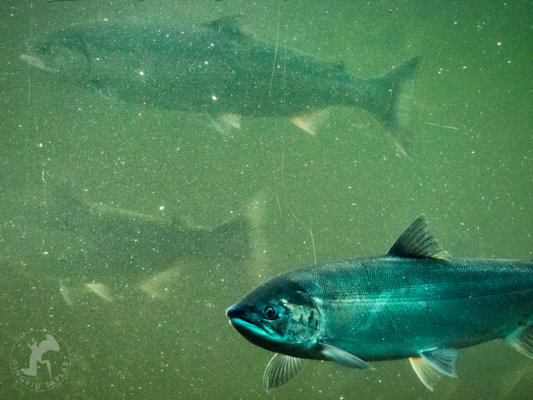 Sockeye Salmon at Ballard Locks Seattle