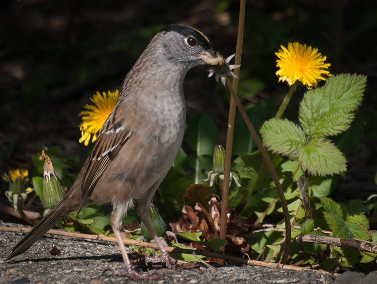 Golden-crowned Sparrow at Smith Cove