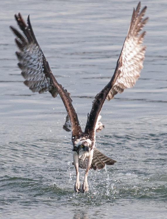 Osprey fishing on Elliott Bay Seattle