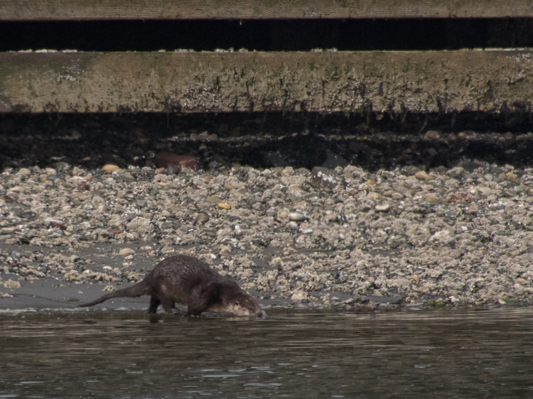 River Otter at Smith Cove Seattle