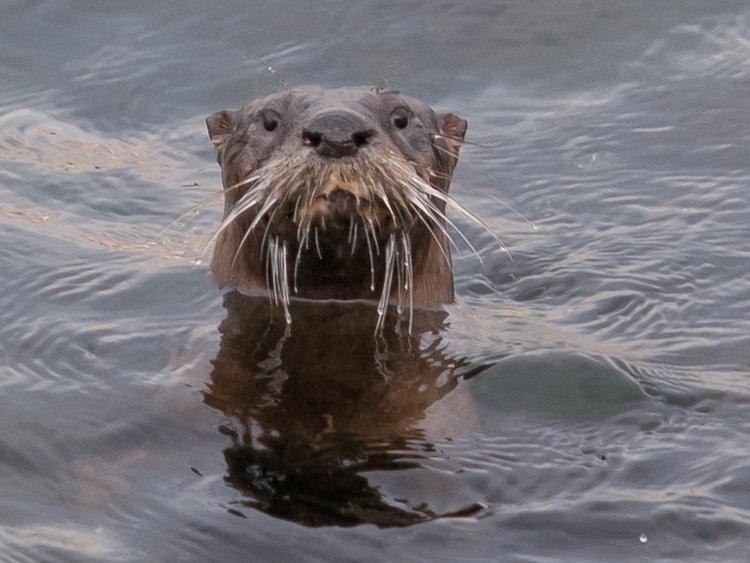 River Otter in Elliott Bay
