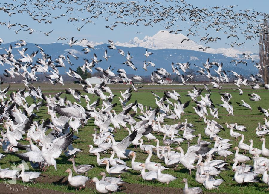 Snow Geese 900