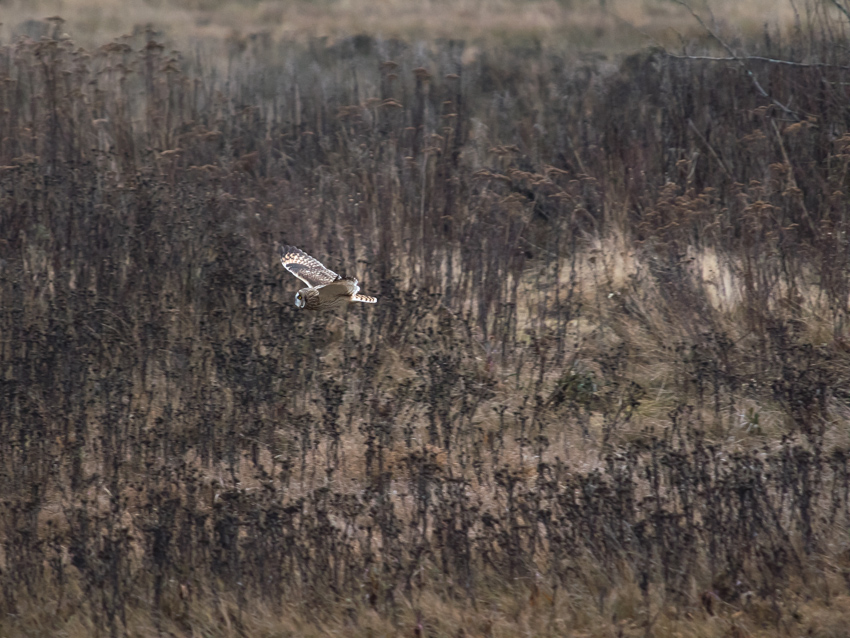 Short-eared Owl in the Marsh