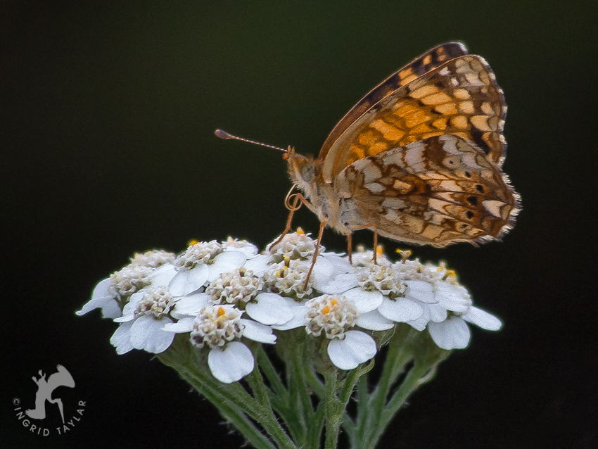 Butterfly Visitor