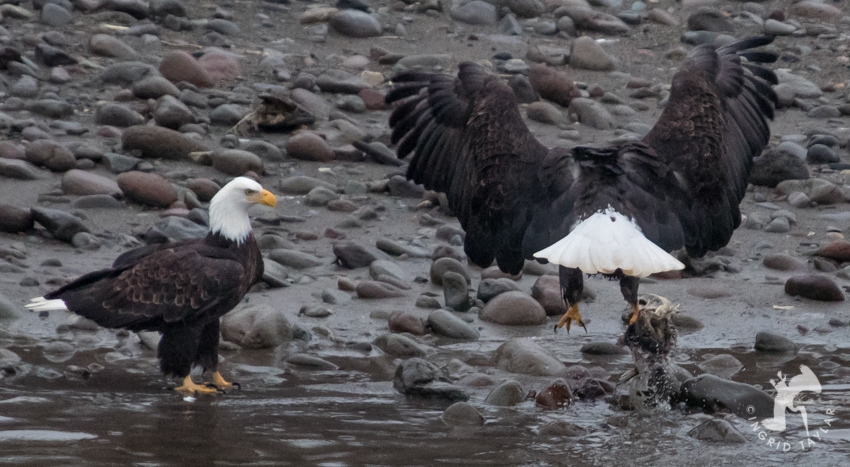 Eagle Lifting Salmon
