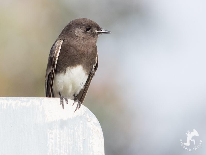 Black Phoebe perched on sign