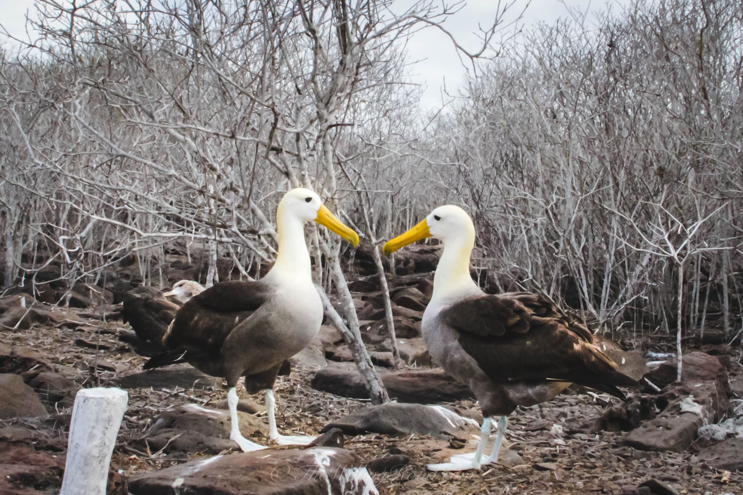 Albatross's dance to acquaint themselves so that when they return home they can identify each other.
