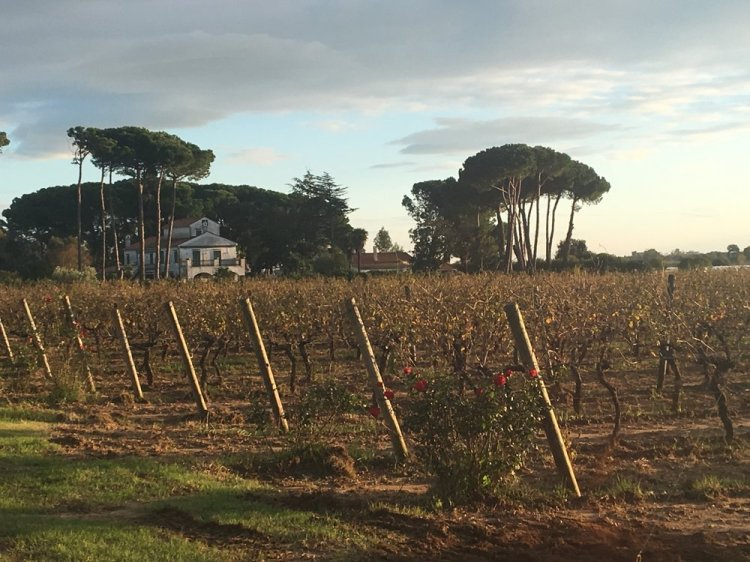 The vineyards next to Villa Matilde estate - the source of great Falerno del Massico wines