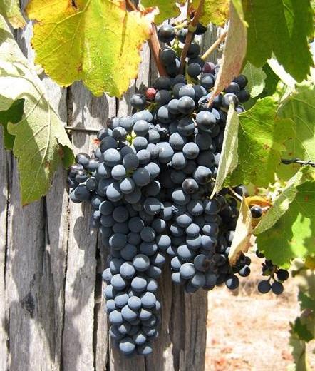 Shiraz at Gibert Wines