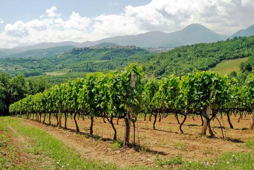 Vines at the Vaeni Cooperative