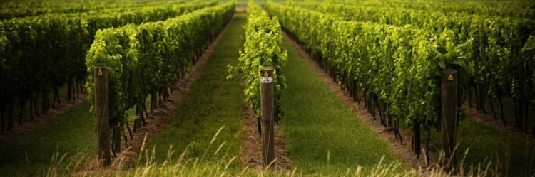 Ashwood Estate is one of the wineries that exemplifies Gisborne's friendly cellar door culture