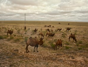 Herds of camels along the train tracks