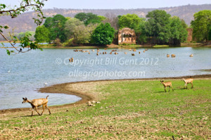 Sambar deer in Padam Talao Lake, Ranthambore
