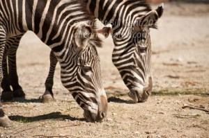 A pair of Grevy Zebra at the ST. Louis Zoo