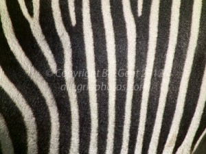 Zebra stripes are like fingerprints, each pattern is unique.