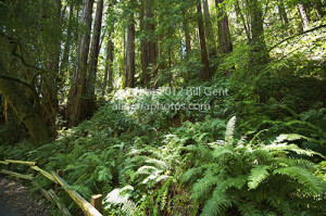 The undergrowth in Muir Woods